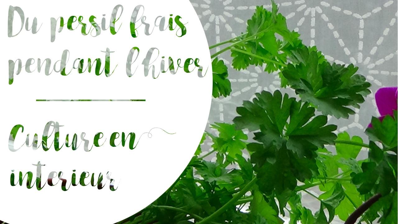 Faire Pousser Du Persil En Appartement du persil frais tout l'hiver ! #2 la culture en intérieur