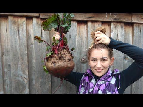 Крупная свекла.Секреты выращивания.Овощи гиганты.Как вырастить крупную свеклу.