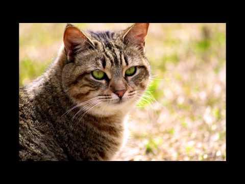 Калифорнийская сияющая кошка (California spangled cat) породы кошек( Slide show)!