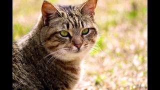 видео Калифорнийская сияющая кошка