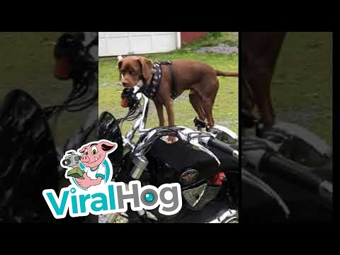 Dog is Ready to Ride || ViralHog