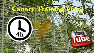 Canary Singing - Training Video 4 Hours (Long version)