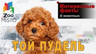 Той пудель - Интересные факты о породе  | Собака породы той пудель