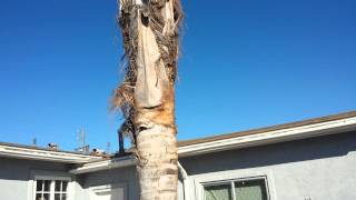 Queen Palm Tree Removal, Imperial Beach CA www.removaltrees.com A Tree Surgeon Tree Service