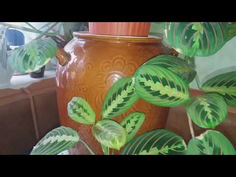 Маранта,особенности растения.