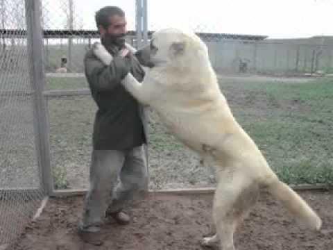 giant turkish kangal dogs   youtube flv   youtube