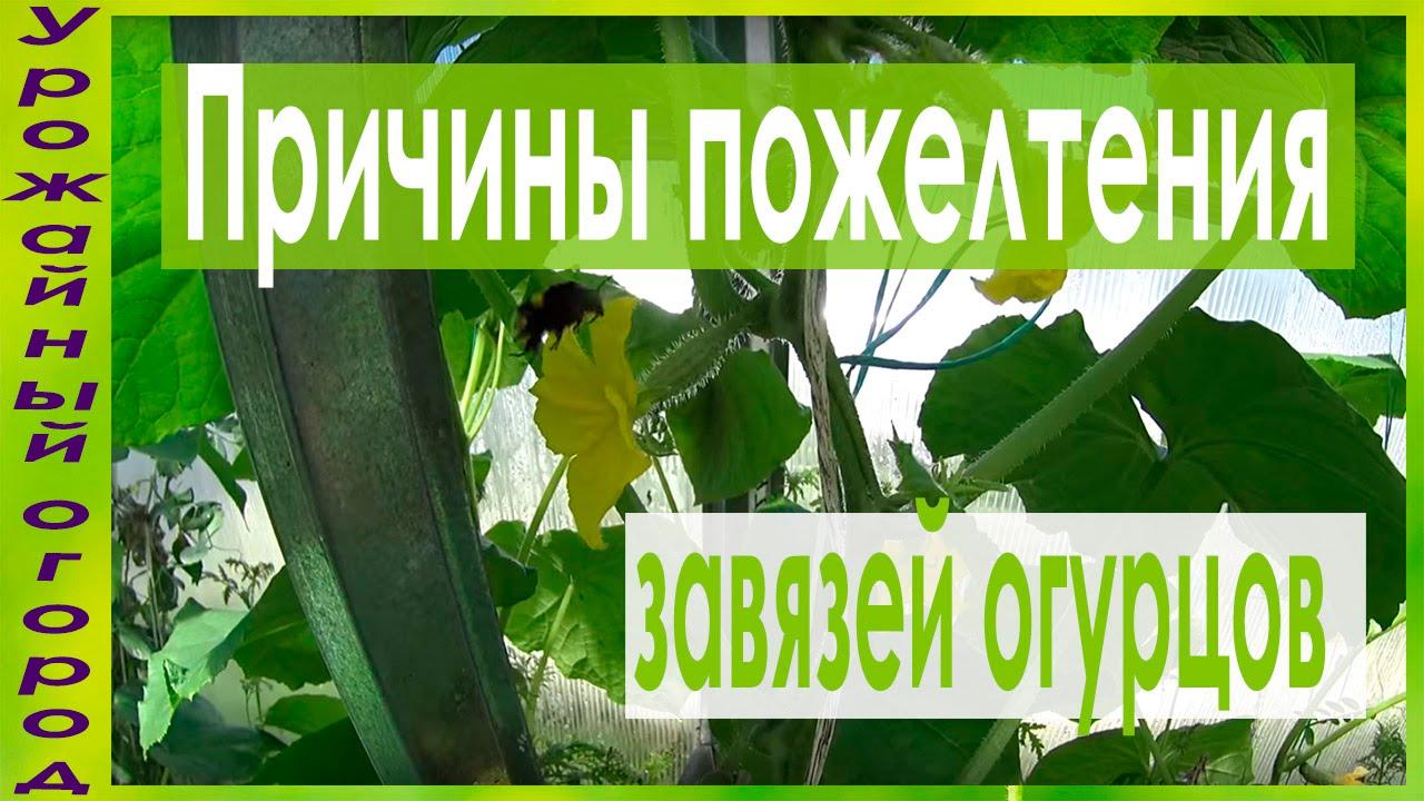 Осыпаются цветы у огурцов