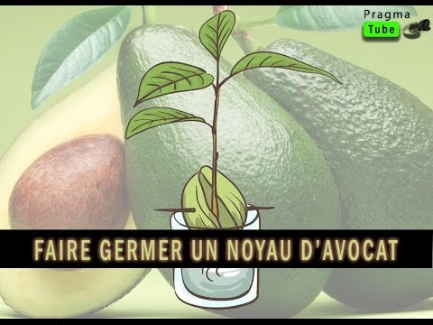 Culture comment r ussir la germination d 39 un noyau d 39 avocat afin d 39 obtenir un plant d 39 avocatier - Comment obtenir un avocat commis d office ...