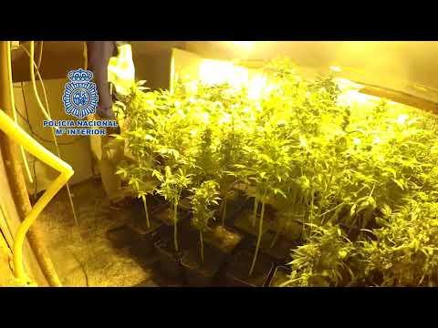Dos detenidos en Lugo por cultivar en un alpendre marihuana que luego vendían