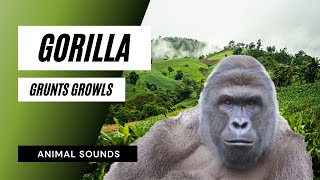 The Animal Sounds: Gorilla Grunts, Growls / Sound Effect / Ani…