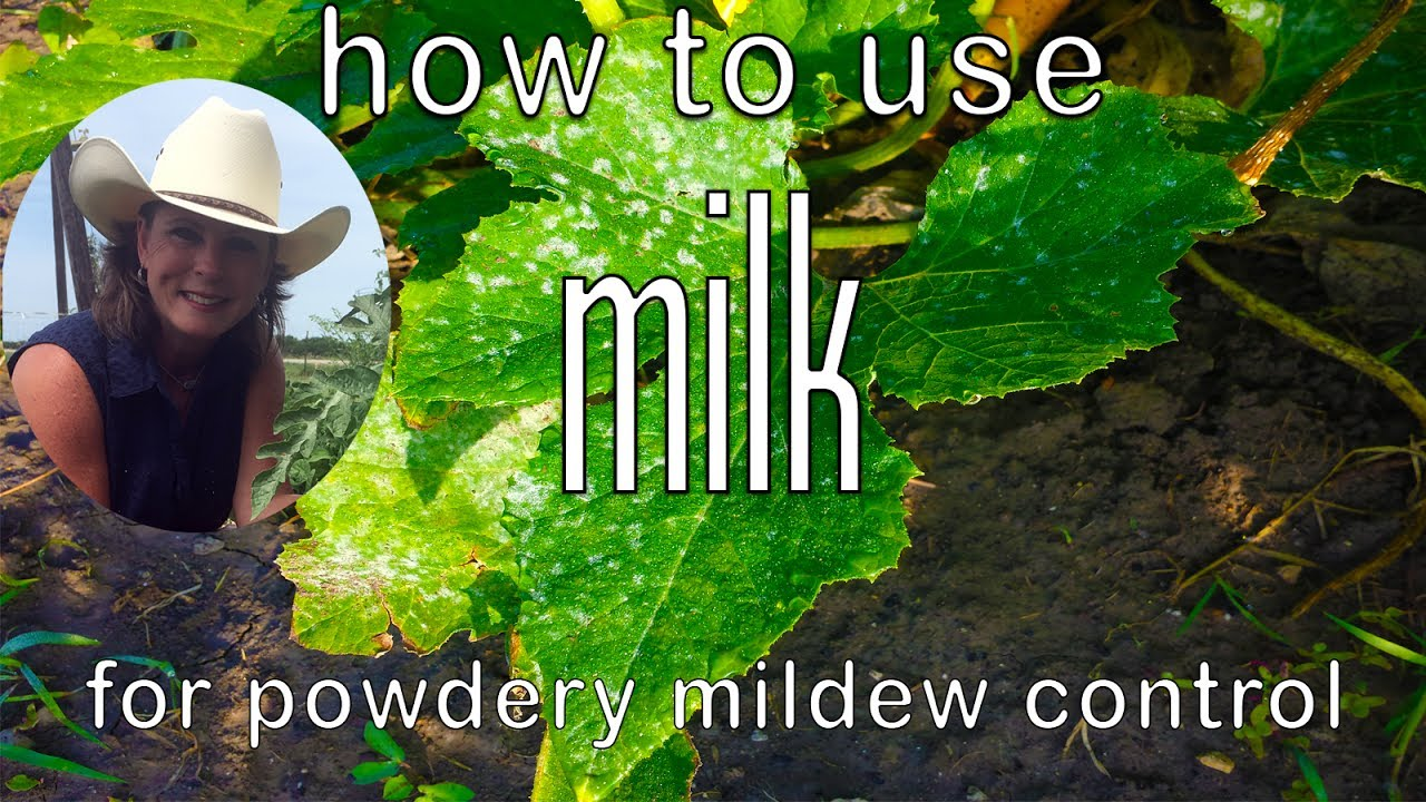 How To Use Milk Control Powdery Mildew Get Rid Of