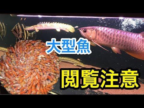 捕食 鯉仔 大型魚 アロワナ ダトニオ ポリプテルス 餌食い 「アクアリウム」「熱帯魚」
