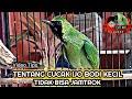 Tentang Cucak Ijo Bodi Kecil Tidak Bisa Jamtrok  Mp3 - Mp4 Download