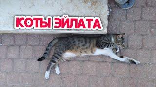 Коты Эйлата. Как живут коты на улицах Израиля