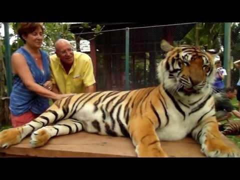 Petting Thai Tigers 2