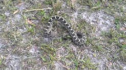 Baby Florida Diamondback Rattler saved.