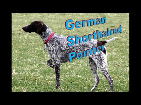 German Shorthaired Pointer Dog Breed info.  How to Choose Dogs