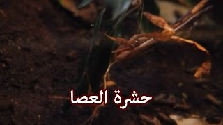 حيوانات - حشرة العصا