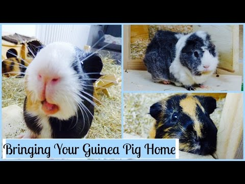 What You Need to Know When You First Get Your Guinea Pigs
