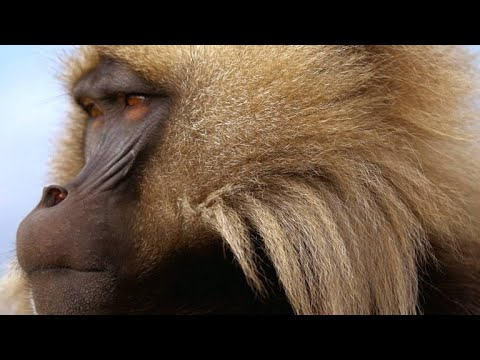 Two Gelada Brothers Viciously Fight For Breeding Rights