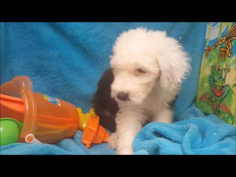 FEMALE OLD ENGLISH SHEEPDOG PUPPY