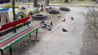 Yorkshire Terrier and pigeons