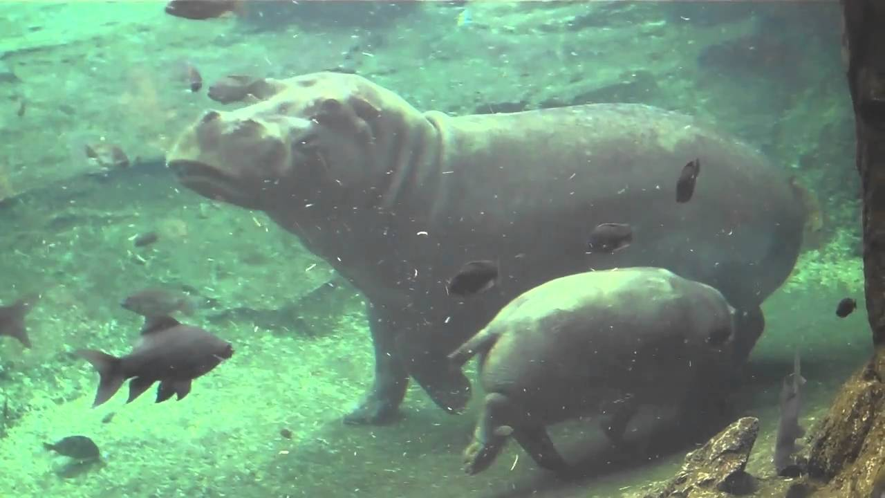 Cute Duck Hd Wallpaper Cute Mama Hippo And Baby Hippo Swimming Together Youtube