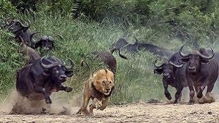 Львы. Мир животных. Жизнь прайда. Документальный фильм National Geographic.