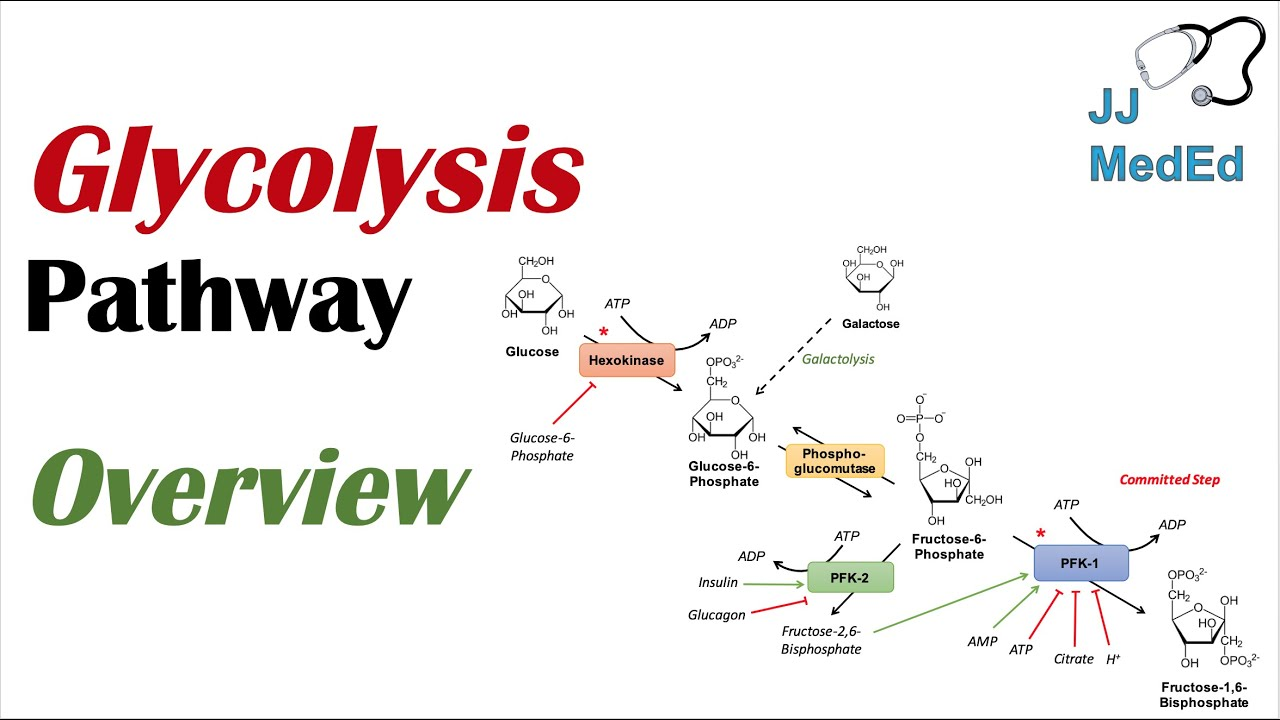 glycolysis pathway enzymes regulation