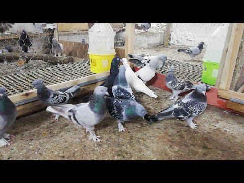 SAHİPLENDİRİLDİ. Çok Uyguna Toplu Güvercin. Bu Sefer Böyle Olsun. 10 Kuş 500 Puan. Darıca