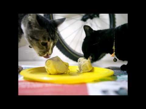 Durian Cat 爱榴莲的猫