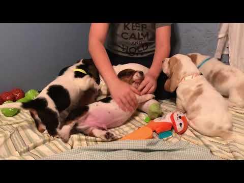 Basset Hound Puppies 5 weeks old
