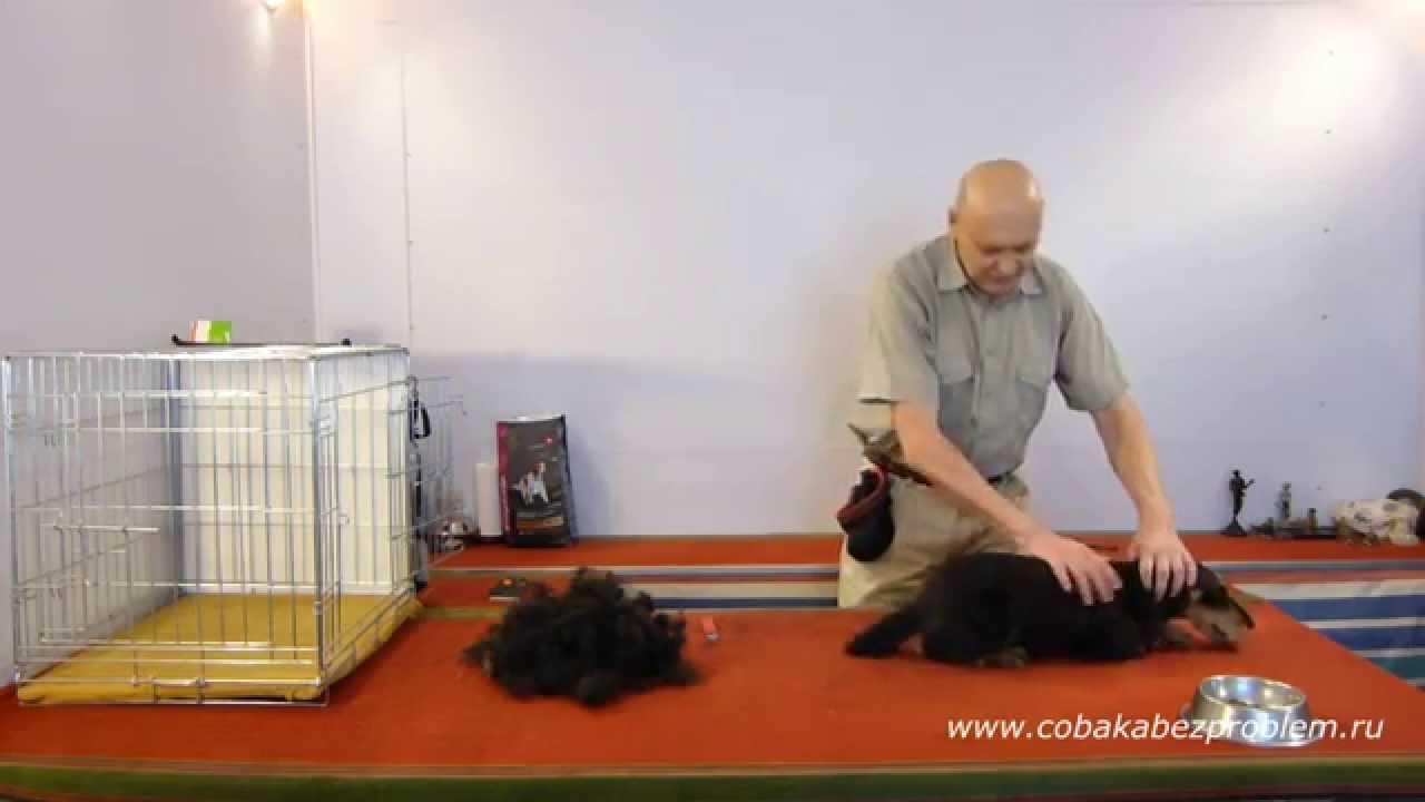 3 Как приучить собаку к триммингу шерсти. Шея, бока, задние лапы