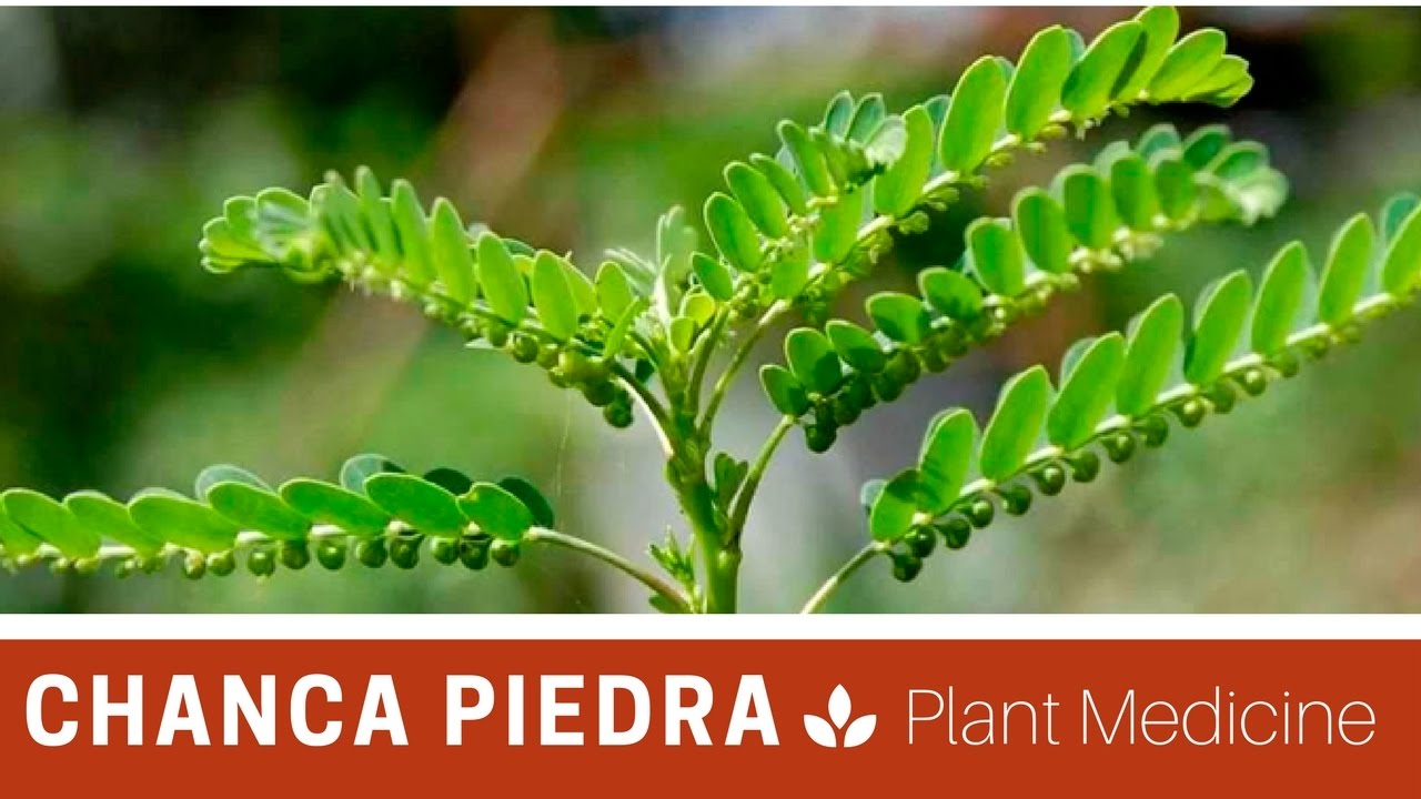 what is chanca piedra in hindi