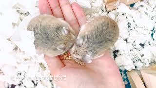 Hamsterdingding.在手上吃東西的老公公鼠.倉鼠.小露寶.小路寶.老公公鼠