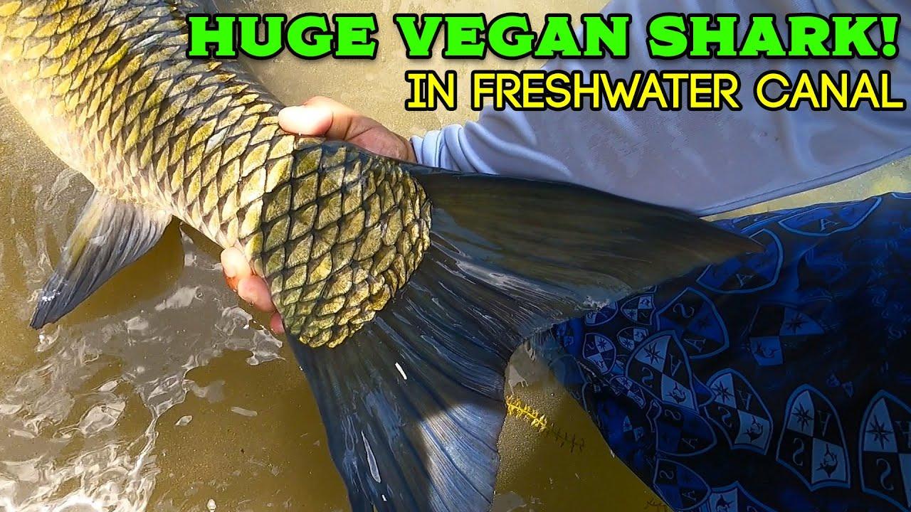 VEGAN SHARK in Florida Freshwater Canal!
