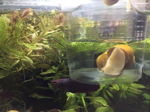 Ампулярия сбежала из аквариума и пробыла без воды почти сутки!