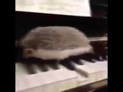 Ёжик на пианино.