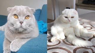SCOTTISH FOLD CATS 2021