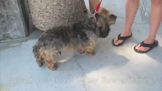 Baxter (lhasa Apso / Dandi Dinmont Terrier Mix) - Furry Friends Rescue
