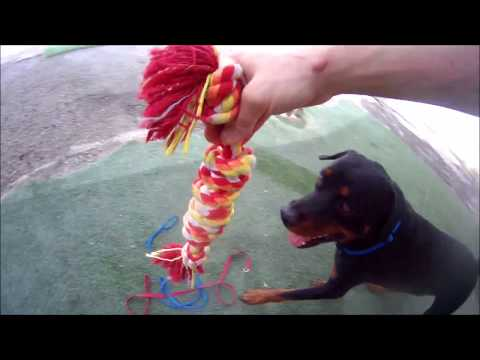 Max - Rottweiler For Adoption - Tempe AZ