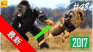 【動物 戦い 】野生動物-バッファロー対ビッグヒヒ対ライオン 2016~~~ P...
