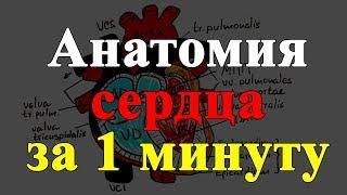 Анатомия сердца за 1 минуту!!!