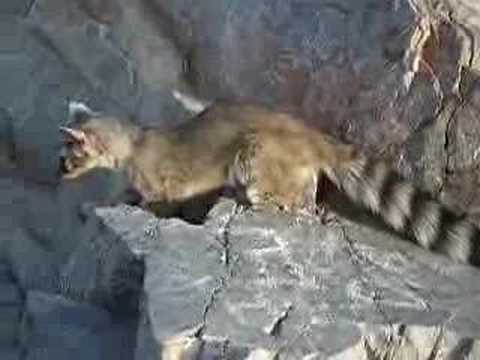 Ring Tailed Cat on Piestewa ..