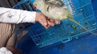 alexandrine parrot baby potty training......