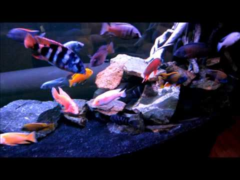 150 Gallon All Male African Cichlid Tank