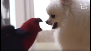 Parrot The Legit Angry Bird In Real Life VS Silly Doggo..The Winner Is?   Kritter Klub