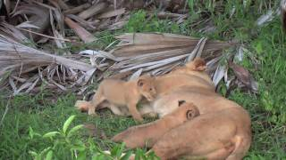 Tanzania safari lions cub