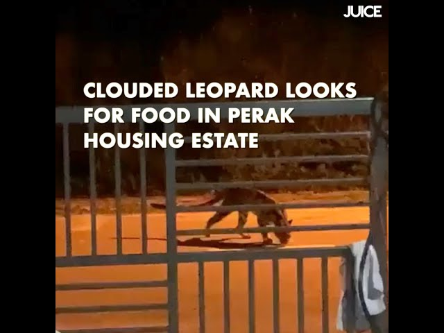 Clouded Leopard Looks For Food in Perak Housing Estate