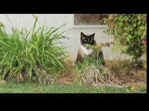 חתול-גנב